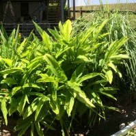 The jungle patch—full of lemon grass, ginger, galangal and two chilli bushes