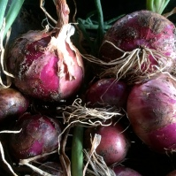 Recently harvested red (Spanish) onions