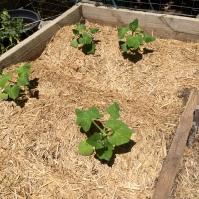 Newly planted butternut pumpkins
