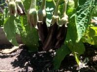 Finger eggplant