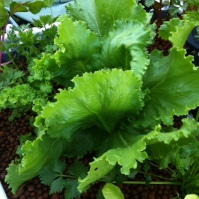 Beautiful iceberg lettuces!