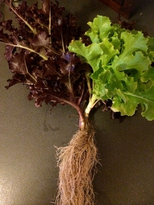 lettuce_roots