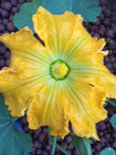 Is there anything more beauteous than a zucchini flower?