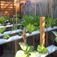 Lettuces still up the wahoosie!