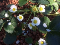 Strawberries in flower and fruit!