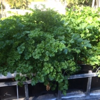 The parsley patch—so much growth!