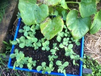 Little pea plants grown from seed ready to be planted out