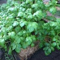 One of the four or five patches of potatoes: I think this patch is the Dutch Creams