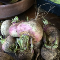 Our first ever crop of turnips