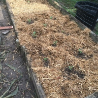 The brassicas bed