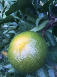 Our citrus trees are starting to bear fruit!