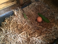 Eggs in the shed