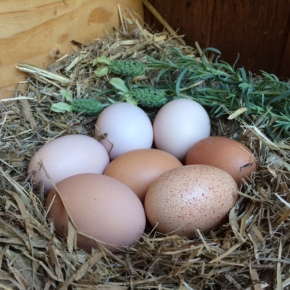 Seven eggs today!